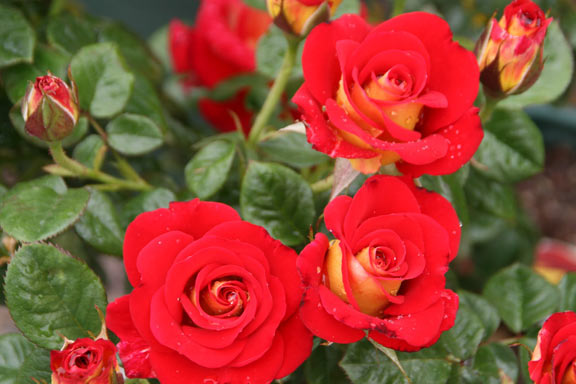 roses_web