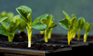 Broad bean seedlings in pots in a greenhouse
